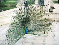 Lazienski Palace and  peacocks in its gardens (sftrajan) Tags: 2004 poland polska peacock palace polen warsaw warszawa peafowl neoclassical pavo varsovie varsovia warschau pologne polsko    lenkija lengyelorszg    palaceonthewater posko  paacnawodzie asiatischepfauen varava azienkipark vars parkazienkowski paacazienkowski varuva pfglar
