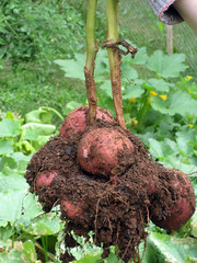 potato tubers on plant