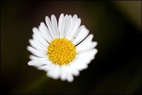 simple sunset daisy
