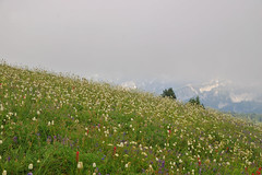 Flowery mountain meadow (Mark Rasmussen) Tags: park cloud mountain mountains green landscape high mt cloudy altitude scenic meadow bank mount alpine national rainier cascades verdant cascade flowery scenrey