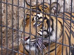 Sumatran Tiger (CPG Photography) Tags: kansascity sumatrantiger kansascityzoo