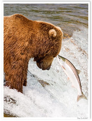 Fish Are Friends, Not Food (Thi) Tags: bear park brown fall water waterfall salmon national grizzly brooks brownbear salmonrun grizzlybear brooksfalls katmai katmainationalpark
