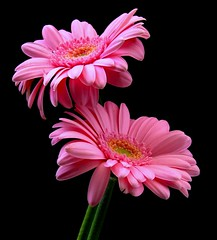 Happy Birthday Gale!!! (Vanda's Pictures) Tags: birthday pink flowers gale gerbera daisy excellence haveagreatday