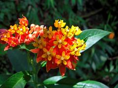 flowers (Tweyelight) Tags: naturaleza nature waterfall farm guatemala antigua catarata panajachel cascada finca volcan lakeatitlan lagoatitlan