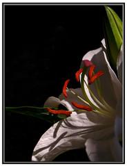 Last Man Standing (Jerri Johnson (away)) Tags: white flower macro asian nikon bravo lily blossom vivid stargazer explore d200 oriental soe excellence themoulinrouge naturesfinest firstquality imagepoetry beautyisintheeyeofthebeholder fineartphotos 25faves mywinner abigfave cmeradeourobrasil visiongroup superbmasterpiece novavita flickrextraordinarycapture proudshopper proudphotoshopper vision100 floralallure thedantecircle