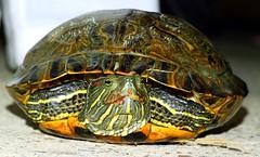 Meglio stare all'erta... (Mattia Tortellino) Tags: verde turtle tortuga tartaruga rettile tondino guscio