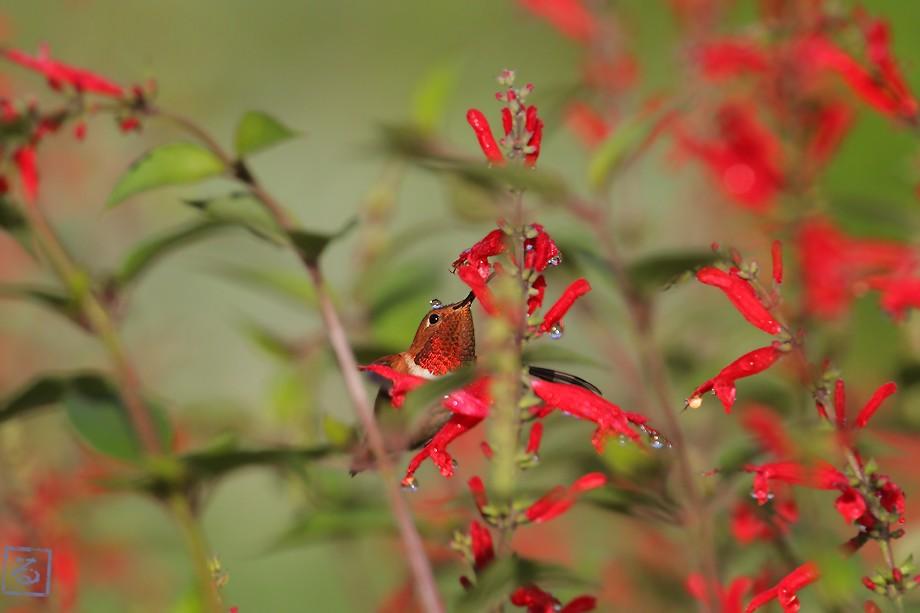 Allen's Hummingbird 102510