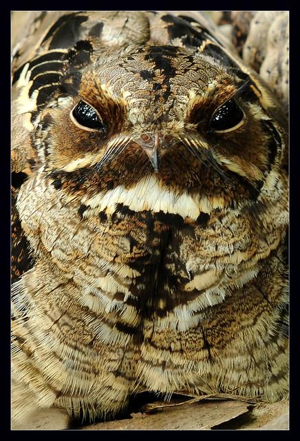 Portrait of Large-tailed Nightjar (Caprimulgus macrurus)