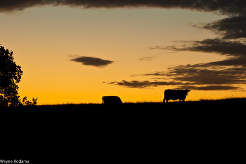 225/365 - Grazing at Sunrise