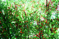 (aenimathirdeye) Tags: red sun tree green cherries sunreflection redfruits lensreflection amarene