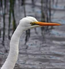 Egret Head (iansand) Tags: geotagged alba head ardea egret warriewood iansand geo:lat=33691469 geo:lon=151292092