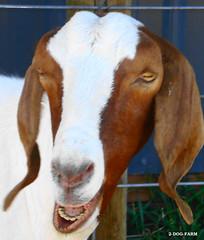 What's up Doc? (2-Dog-Farm) Tags: copyright silly up aka please whats farm nanny goat icon dolce contact moment doc having 2007 animaladdiction dolcemente 2dogfarm animaladdictionicon