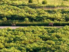 A pleasant surprise! (FlowrBx) Tags: river nebraska doe fawn grassland whitetaileddeer sandhills flowrbx specanimal blainecounty northloupriver loupriver