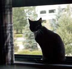 Kitty in the window. (Kari Helm) Tags: kitty nibbler