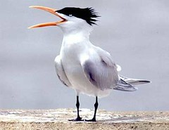 little-tern