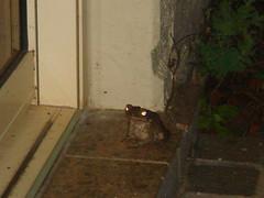 Visitor at Dinner (Neubie) Tags: vacation animal night hawaii frog toad kauai urbanwildlife princeville hanaleibay urbananimal latenightvisitor hanelei kauai2007 hanaliebay