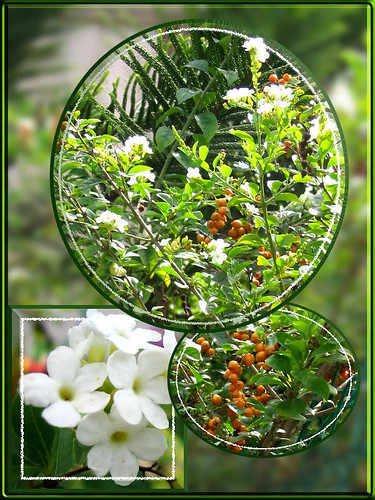 A collage focusing on the flowers and golden berries of the plant, Duranta Repens 'Alba'
