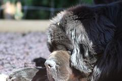 Lazy Days on Sunny Afternoons (chris_rshtn) Tags: dog black newfoundland ears explore pigs reese interestingness48 i500 smushedfacedog