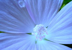 My Blue Heaven (Clara Hinton) Tags: blue macro nature petals heaven glow blossom blueflower cubism waterdroplet blueheaven blueglow masterphotos platinumphoto blueblossom clarahinton anuniverseofflowers flickrsmasterpieces greatshotss