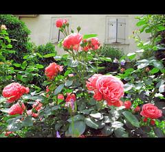 ein märchenhafter Rosengarten - a rosegarden-tale