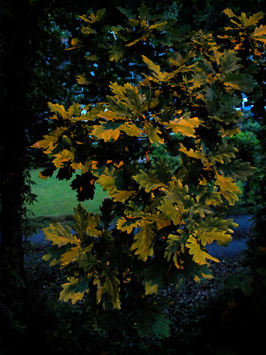 8: Oak Leaves by street light