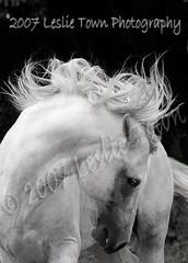 Postin_6504wm (myhorse) Tags: summer horse ontario grey spring gray georgetown stallion pasofino postin haltonhills forestgaitfarm postindepetrolero