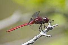 dragonfly (: ) space monkey) Tags: delete10 delete9 keys delete5 delete2 florida delete6 delete7 save3 delete8 delete3 delete delete4 save2 save4 save5 save6 scarketskimmer