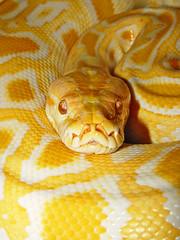 [フリー画像] [動物写真] [は虫類] [蛇/ヘビ] [ビルマニシキヘビ] [黄色/イエロー]      [フリー素材]
