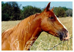 Royal, a Chestnut Arab Gelding that was my Horse (Close In) (Pixel Packing Mama) Tags: 400views v400 allanimals loh petsinprofile flickrgirls horsesset pixelpackingmama dorothydelinaporter views400 worldsfavorite montanathecat~fanclub ceruleanthecat~fanclub chestnutarabgelding horsefacespool ashotadayorsopool anythinghorsespool views401500pool abcs123sentriesset abcsand123stimetovotepoolx risforroyal horsesontheloosepost1award1pool update4sure favoritedpixfirsthalfof2010set favup010510 update4sureset oversixmillionaggregateviews over430000photostreamviews