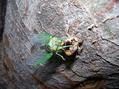 an investigation into the nature and existence of the cicada insect 01082015 request pdf on researchgate   theoretical study on the bactericidal nature of nanopatterned surfaces   a natural biomaterial has been discovered with.