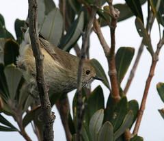 Brown Thornbill (maureen_g) Tags: birds wildlife australia nsw centralcoast e510 soldiersbeach zd50200mm