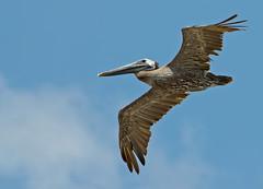 Pterodactyl (martytdx) Tags: vacation birds nc lifelist pelican brownpelican topsailisland pelecanus pelecanidae pelecanusoccidentalis ntopsailbeac