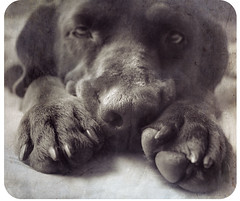 annoyance in its most extreme (cs.foto (simplybloomphotography)) Tags: dog texture labrador bored chocolatelab paws kona annoyed csfoto