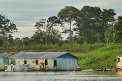 Grey dolphin in the Amazon river