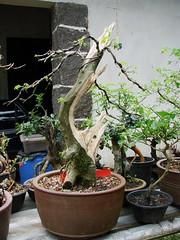 Bonsai Chow (Projeto Bonsai) Tags: arte chow bonsai alexandre japonesa projetos pyracantha espinosa calliandra brevipes shimpaku chinesa spinosa nativas serissa