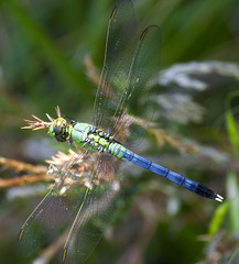 top (davedehetre) Tags: blue green grass wings eyes dragonfly lace tail seed iridescent segmented
