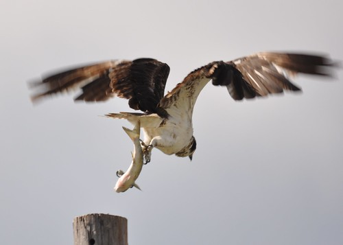 Osprey with fish two