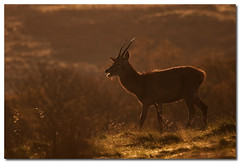 Juvenile red deer stag at dawn (Poyntonshoot Mike) Tags: autumn red male canon dawn stag deer 1d backlit juvenile autumnal cervus elaphus