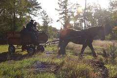 DSC_4106-78 (Ton van der Weerden) Tags: horse de cheval pferde nederlands jos draft chevaux belge belgisch trait toertocht kaltblut attelage trekpaard aangespannen zugpferd trekpaarden leenderstrijp peerlings