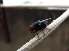 Calliphora vomitria? (Radames Ajna) Tags: azul mosca varejeira calliphora vomitria