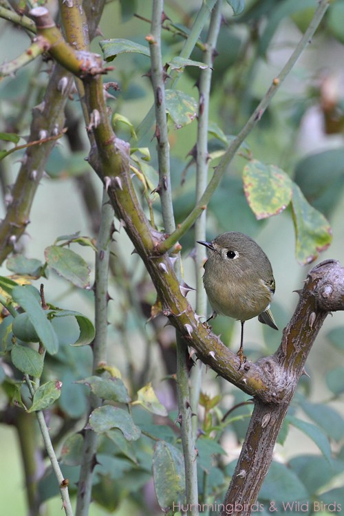 Ruby-crowned Kinglet 110710