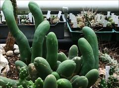 succulent (Edyta@) Tags: succulent poland exhibition warsaw botanicalgarden warsawuniversity uniwersytetwarszawski ogrdbotaniczny