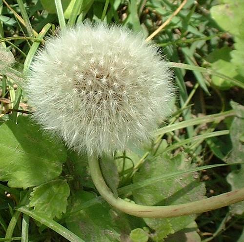 dandelionpuff