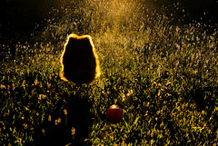 Flying Dog (Pierpaolo.) Tags: light sunset summer italy dog sun nature field grass cane yard canon ball landscape eos funny tramonto estate searchthebest july natura games run erba german sole bergamo prato spitz giochi 2007 30d luglio tedesco seriate sigma1770 coolestphotographers