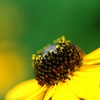 Black Eye Susan (Wendine) Tags: flower macro nature yellow closeup backyard nikon d200 raining naturesfinest rudbeckiaserotina aplusphoto 70mmf28exdg platinumheartaward
