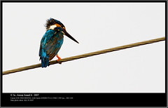 Small Kingfisher (Anoop Anand A) Tags: india bird birds canon 350d small kerala 3a kingfisher canon350d l canoneos350d anoop kollam ef aaa quilon 400mm canonef400mmf56lusm anoopaa smallkingfisher monroethuruthu anoopananda anoopco wwwanoopco httpwwwanoopco