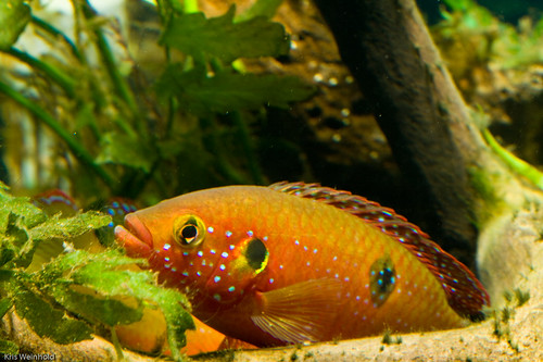 Jewel Cichlid Guarding Eggs