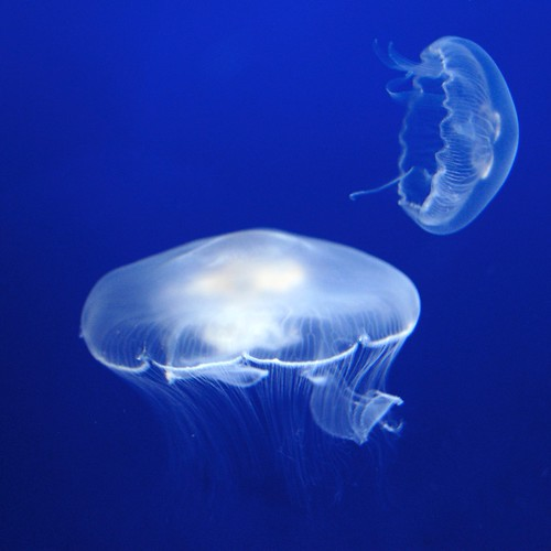 Two white jellyfish in a blue, blue tank