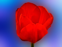 Para vosotros amigos del alma (Jose Luis Mieza Photography) Tags: flowers flores flower fleur fleurs flor fflower benquerencia florews reinante jlmieza reinanteelpintordefuego fotosj bodayteruel lumixgrande joseluismieza