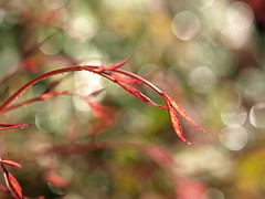 it's no use going back to yesterday, because I was a different person then (redrocker_9) Tags: red macro water sunshine yard 35mm leaf drops bokeh alice olympus zuiko andlotsofit hbw ftlob thisisthebokehthatmakesmehappy iwentonabokehhunt